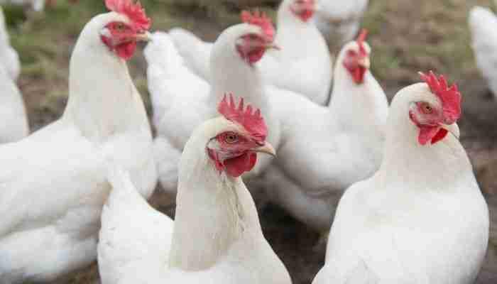 مشروع شركة لتأجير الدجاج