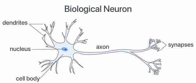 الخلية العصبية البيولوجية Biological Neuron_LI